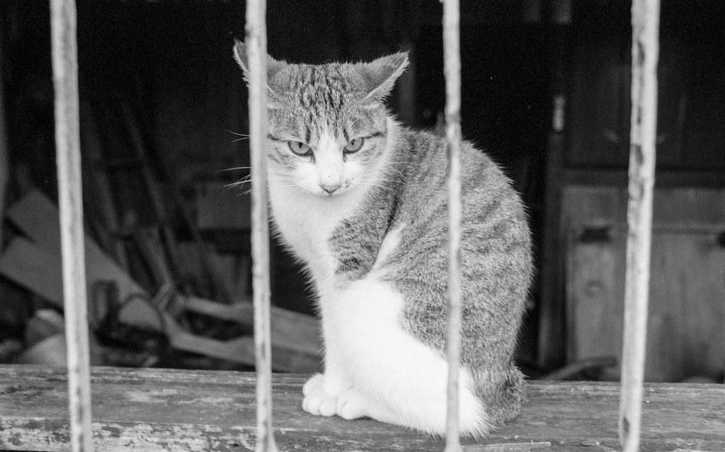 KODAK TRI-X  黑白貓