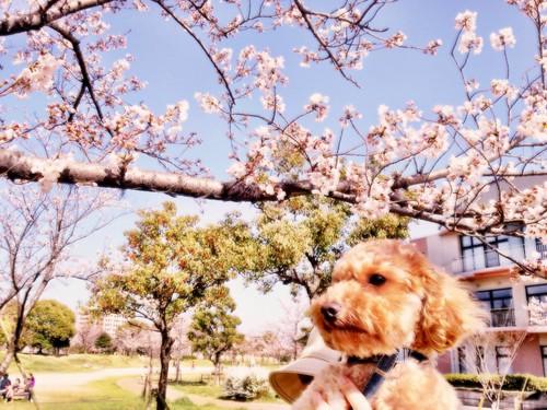 ジョナサンと桜