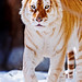 Golden tiger walking in the snow III