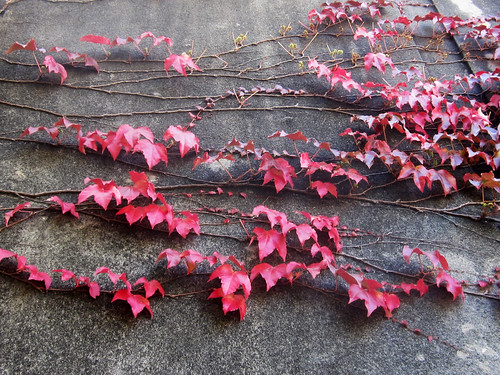 Red Leaves and Vines