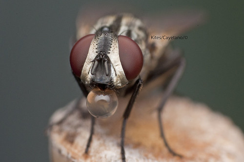 House Fly with bubble