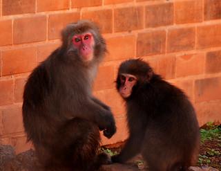 Macaco-japonês