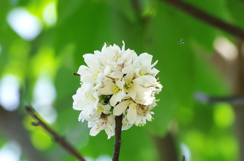 雲林古坑荷苞山油桐花
