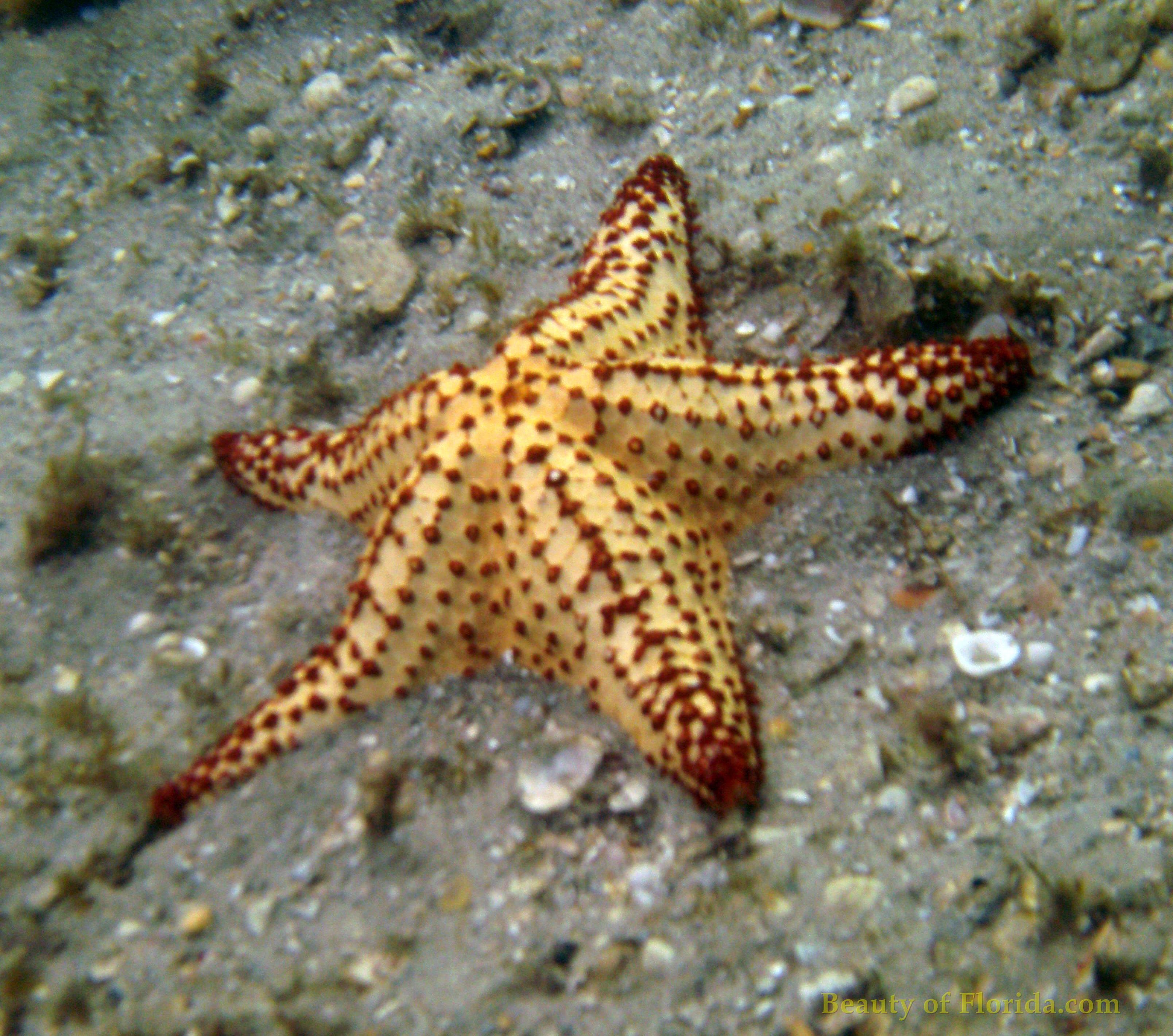 Real starfish underwater - photo#11