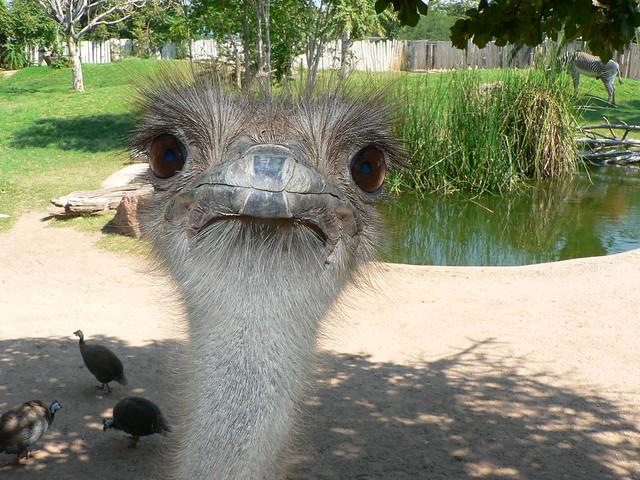 Ostrich | Reid Park Zoo
