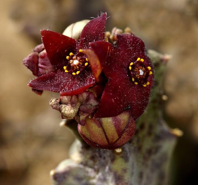 Caralluma europaea (Guss.) N. E. Br. - ASCLEPIADACEAE - Paraje Natural Desierto de Tabernas (Almería) (7)
