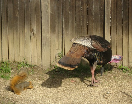 1squirrel turkey patrick barry ph