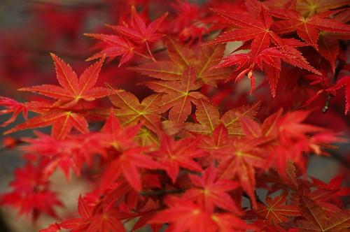 陽明山紅楓祭