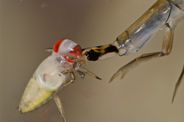 Lesser diving beetle larva Acilius eating Backswimmer Notonecta nymph 8