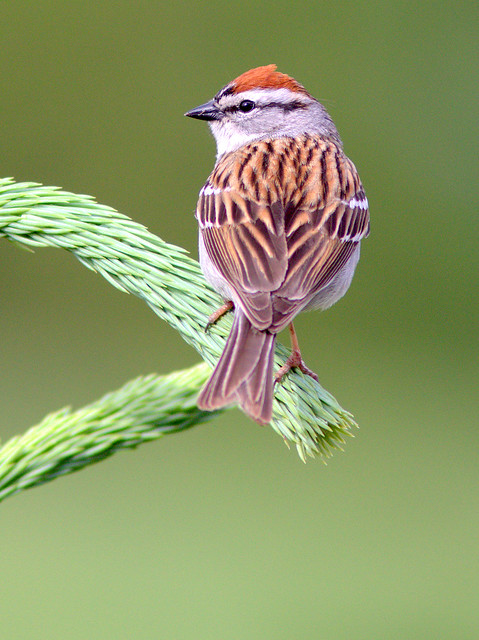 Chipping Sparrow 3-20120509