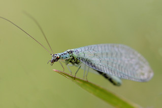 Blue Lacewing 3