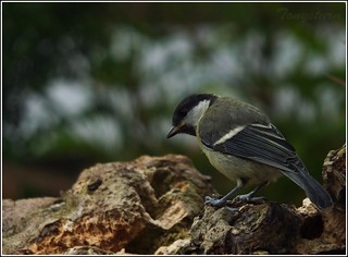 Young Great Tit