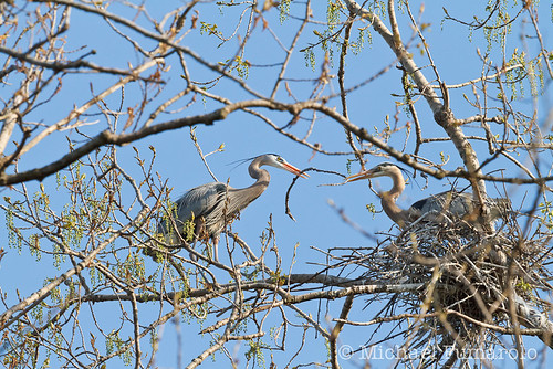 Great Blue Herons Nest Building - 08