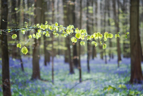 trees rain forest woods raindrops bos bluebell halle hallerbos hyacint hyacinthoidesnonscripta boshyacint commonbluebell wildehyacint
