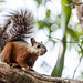 Variegated Squirrel - Photo (c) Mike Baird, some rights reserved (CC BY)