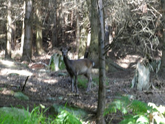Deer in Lackandarragh