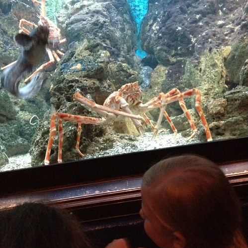 Shedd Aquarium - Gigantic Crab