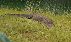 Gator in the pond at work