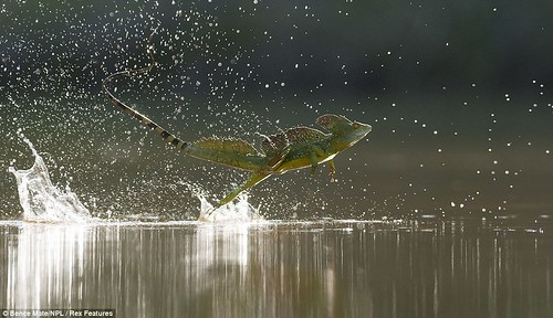 Walking on water! Lizard skips across lake in close-up captured by 'invisible' photographer  2