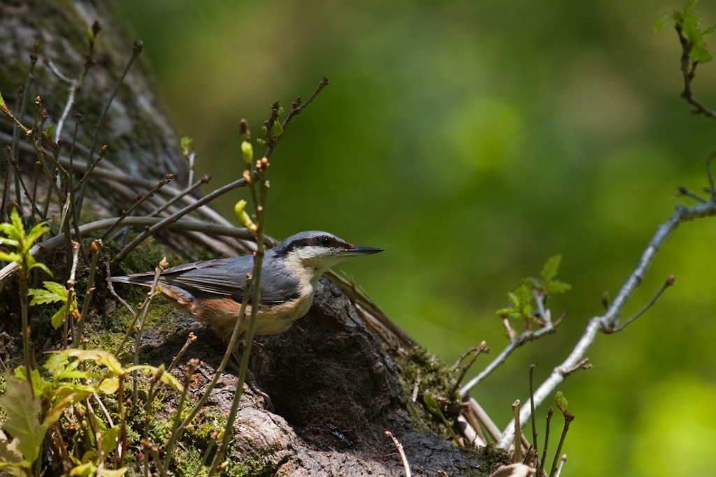 Historic Nuthatch