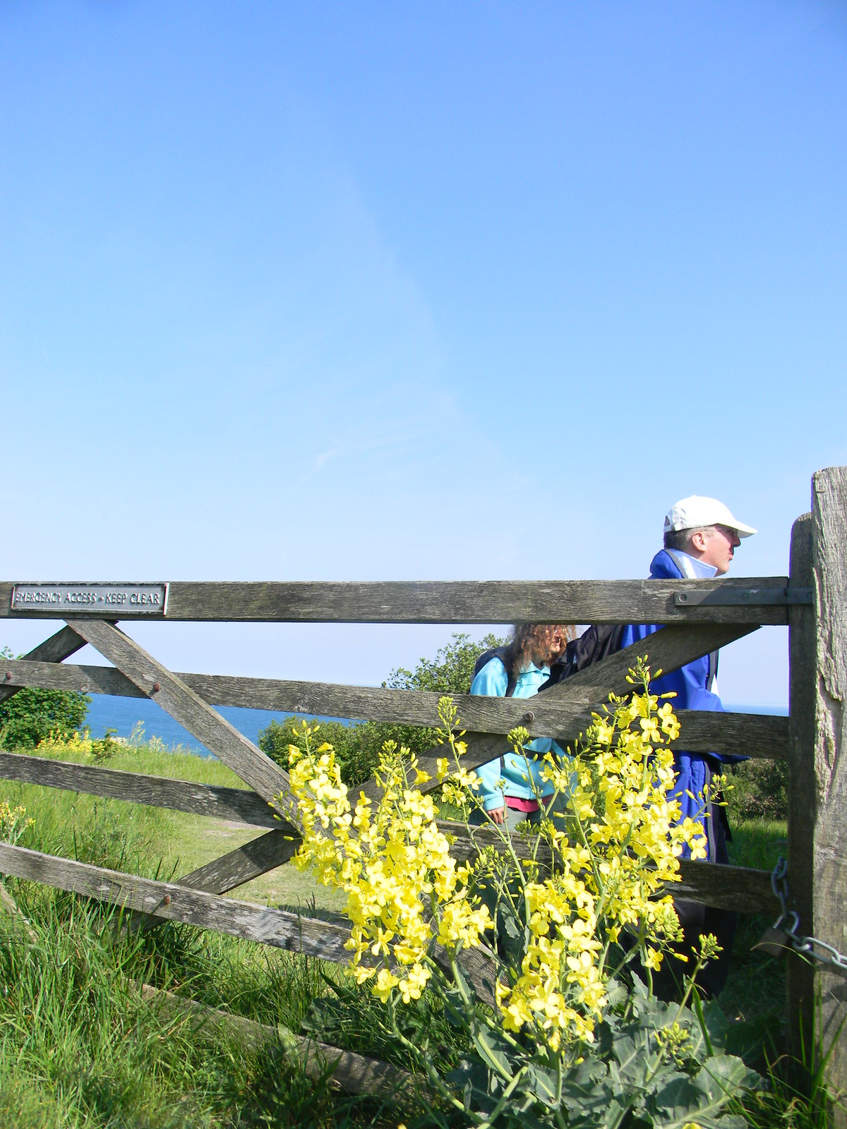 Wild cabbage, menacing walkers. Bright yellow flowers, Quite pretty, despite being cabbage. Deal to Dover