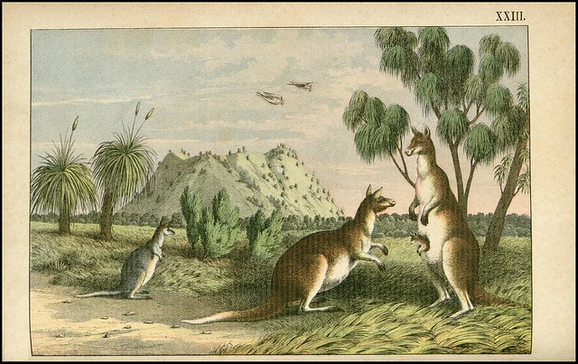 zoological chromolithograph - kangaroos in the outback