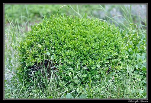 Buis commun (Buxus sempervirens)