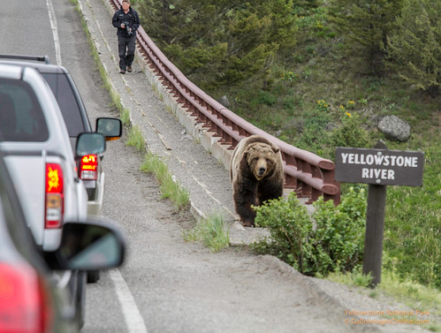 Grizzly crossing the Yellowstone River (1 of 1) by Mark/MPEG (Midwest Photography Enthusiasts Group)