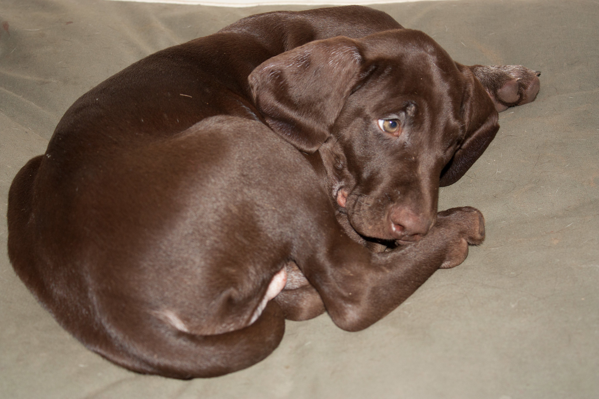 German Shorthair Dogs For Sale In Indiana