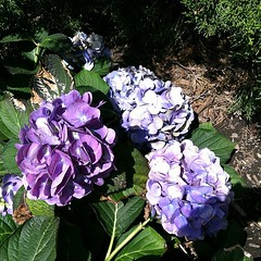 Hydrangeas at the House of Worship