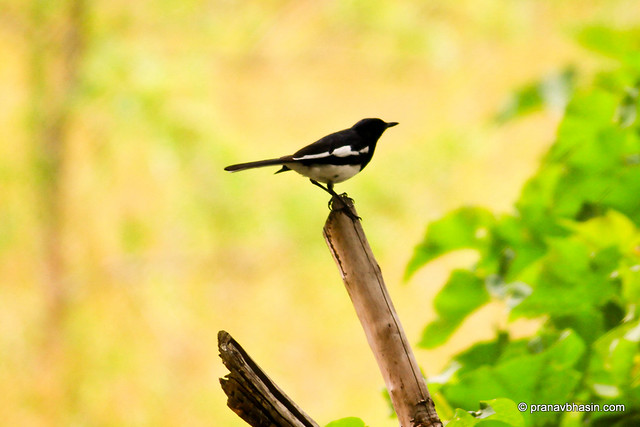 Magpie Robin (Copsychus saularis) at Periyar Tiger Reserve, Thekkady by Pranav Bhasin