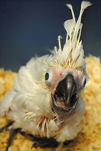 Think you had a bad hair day? Baby Umbrella Cockatoo has you beat!