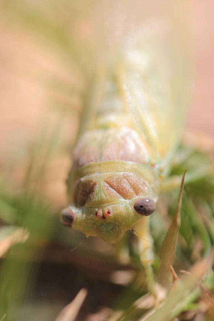 cicada juvenile