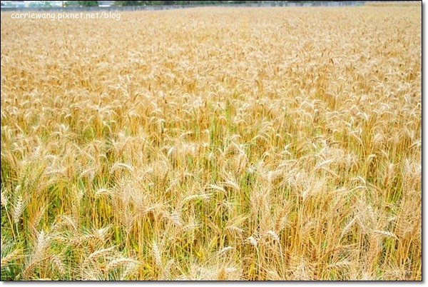 Wheat Farm (3)