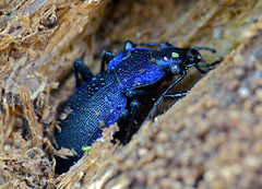 Violet Ground Beetle (Carabus problematicus) hibernating in dead wood