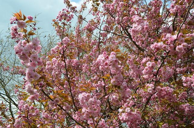 Berlin Cherry Blossom Festival Kirschbluetenfest Gaertens der Welt Erholungspark Marzahn_abundant blooming cherry blossoms