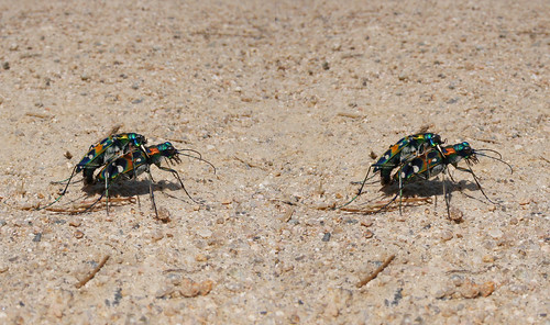 Cicindela japonica, stereo parallel view