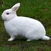 Rabbit enjoying the grasses of Parksville