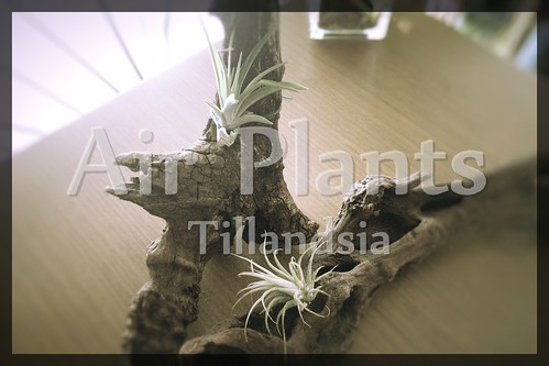 Airplants_eye