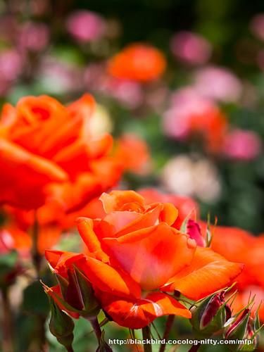 Rose #01