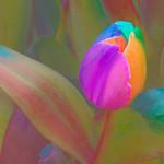 Keukenhof_2016_Flowers