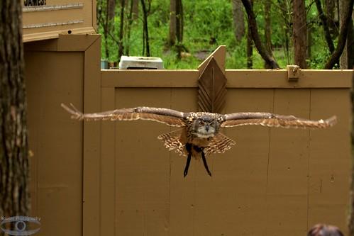Owl in Flight 1218