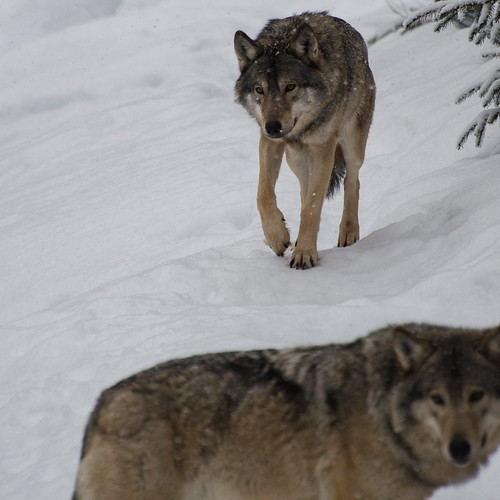 Lobos bajo la nieve/ Wolves in the snow by jbtello2