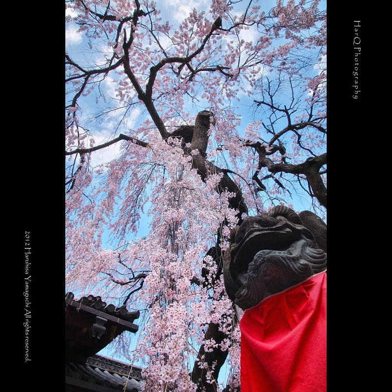 Guardian dogs and cherry blossom *