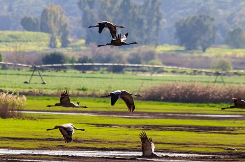 birds animals israel hula galilee il cranes mideast naturelandscape