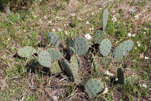 Picture of Prickly Pear Cactus (Opuntia humifusa) on a glade on Sac River Trail.