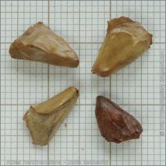 Abies nordmanniana seeds - Jodła kaukaska nasiona