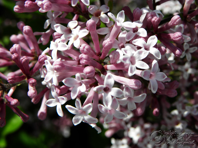 DSCN3328 Dwarf Korean Lilac blooms