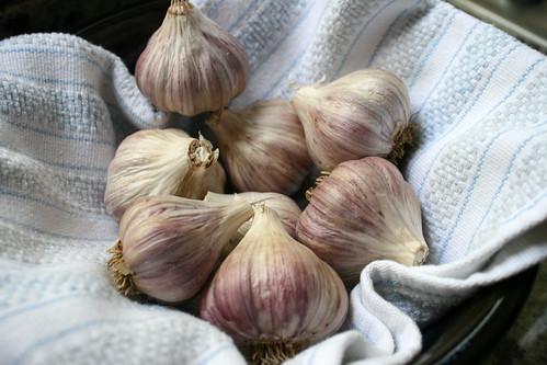 last garlic 278