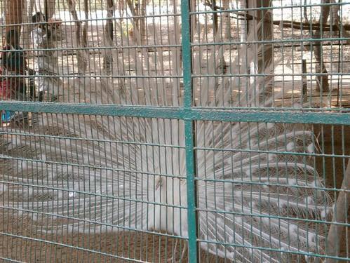 White-Peacock-Vandalur-Zoo-Chennai